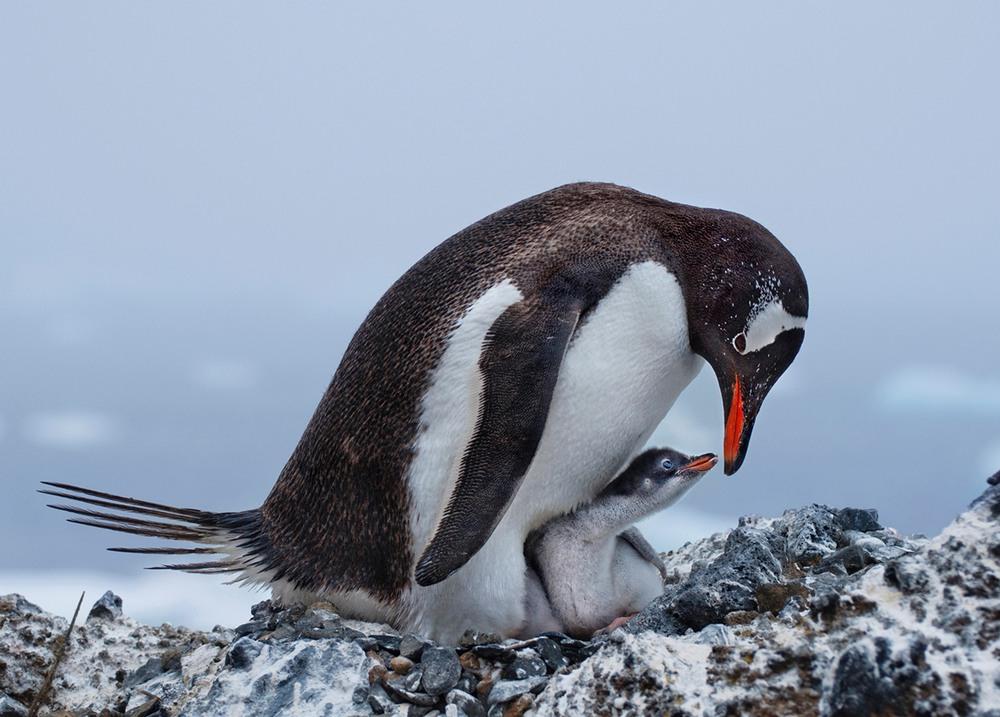 6 Папуанский пингвин и его птенец. После императорских и королевских пингвинов, папуанский — самый крупный пингвин. Самцы достигают веса 9 кг, а самки — 7,5 кг, рост взрослых особей — 75—90 см. (Фото Deborah Albert