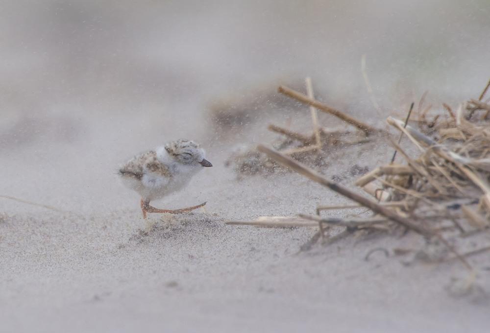 8 Против ветра. Желтоногий зуёк. Фото William Page Pully
