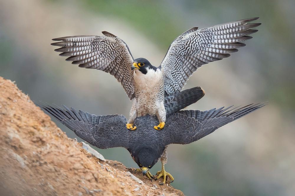 9 ищная птица- сапсан. выделяется тёмным, аспидно-серым оперением спины, пёстрым светлым брюхом и чёрной верхней частью головы, а также чёрными «усами». Это самая быстрая птица, и вообще живое существо, в мире. По оценкам специалистов, в стремительном пикирующем полёте она способна развивать скорость свыше 322 км/ч, или 90 м/с. Фото Glenn Conlan