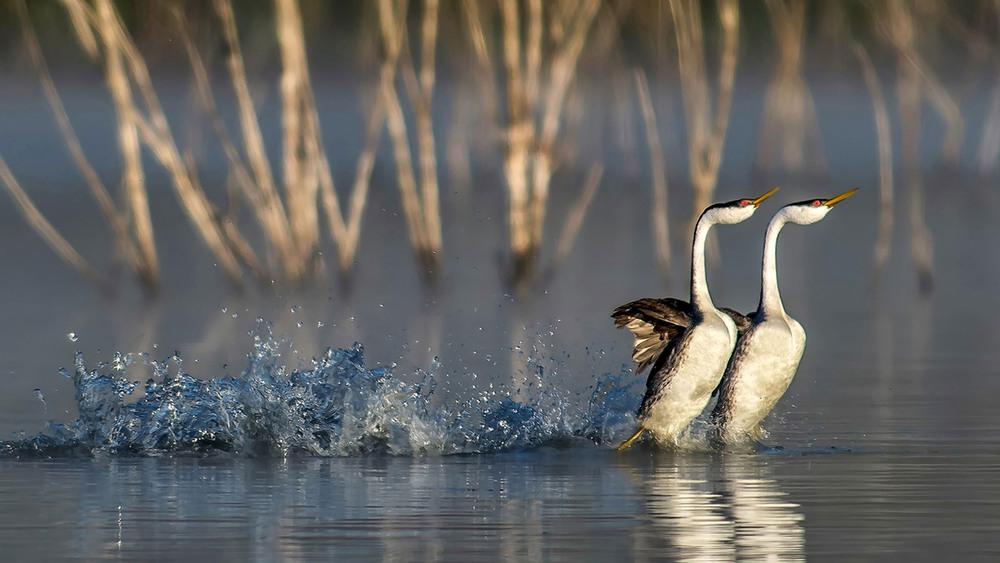 10 Западноамериканские поганки. Оперение западноамериканской поганки мягкое, плотное и абсолютно водонепроницаемое. В среднем одна птица имеет около 20 000 перьев. Фото Andrew Lee