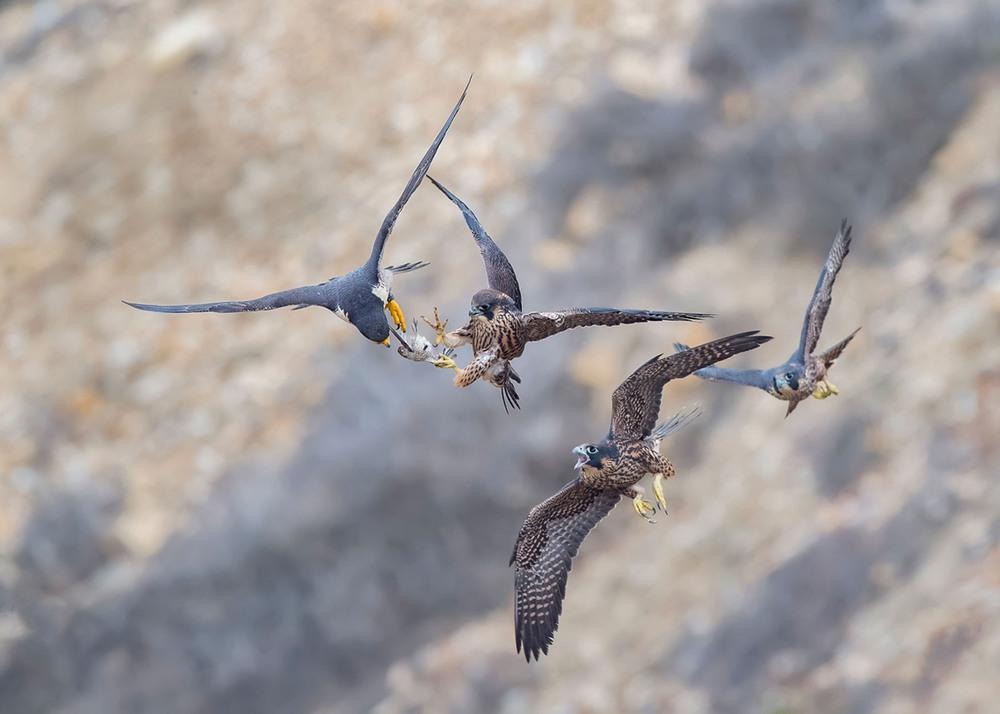 11 Драка в воздухе за добычу. (Фото Glenn Conlan