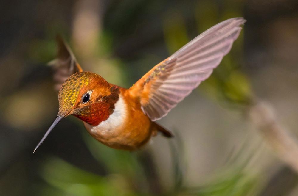 12 Охристый колибри. Гнездится на западе Северной Америки от северо-западной Калифорнии на юге до юго-восточной Аляски на севере. Фото Vince Streano