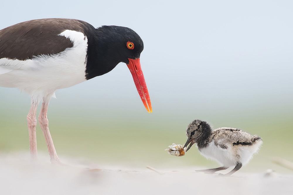 14 Птицы из семейства куликов-сорок. Обучение малыша. Фото Warren Hatch Andrew Lee |