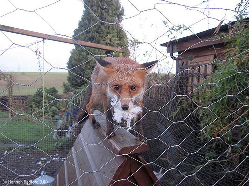 Фотографы 10 лет и младше 1. Пойманная с поличным лиса, которая забралась в курятник автор - Hannah Bedford, Англия.
