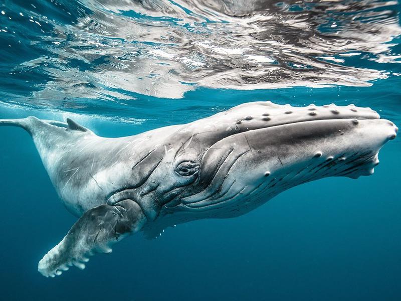 1 «Большой ребенок». Детеныш горбатого кита в водах Тонга. Автор - Karim Iliya