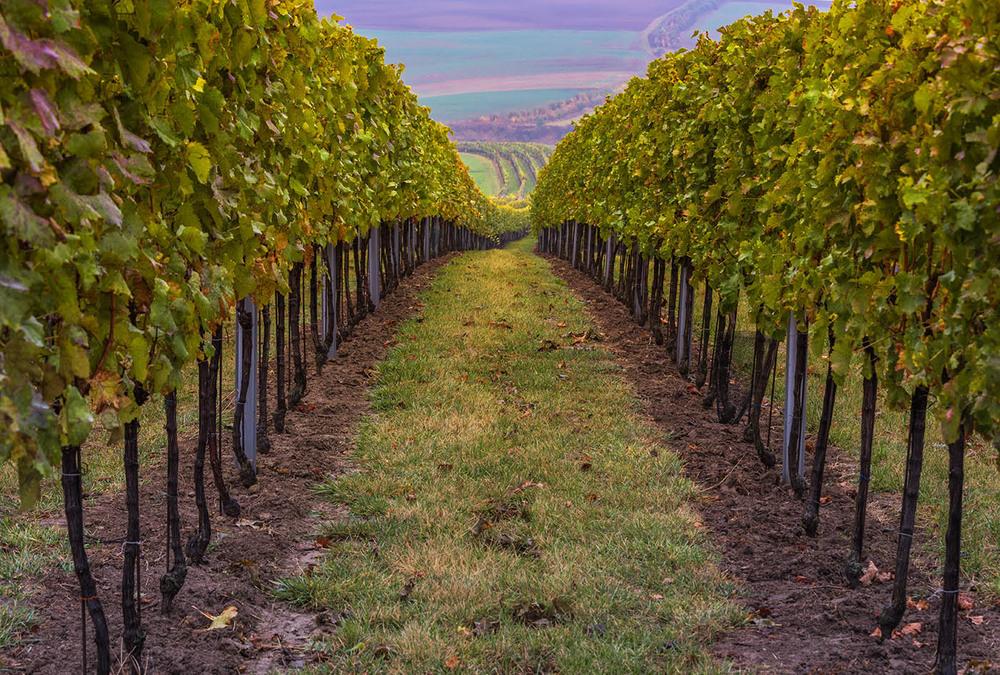 Виноградные перспективы Автор: ZIAD