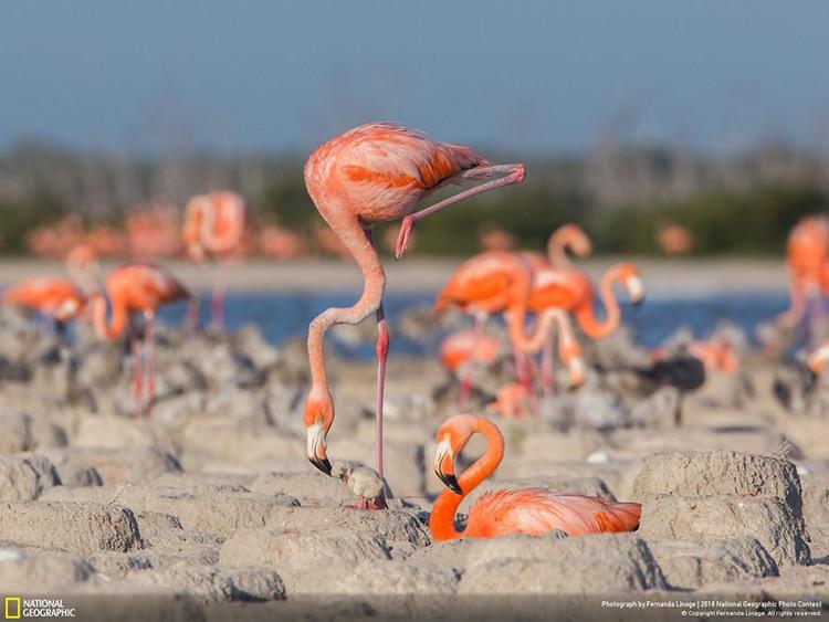 2. Фламинго. Фернанд Линэйдж.