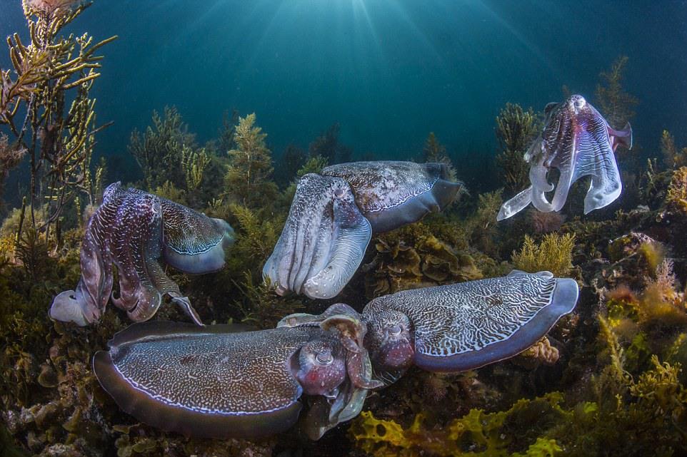 """2 """"Коллективное ухаживание"""". Автор - Скотт Портелли (Австралия). Тысячи гигантских каракатиц собираются каждую зиму на мелководье залива Спенсер (штат Южная Австралия), для единственного в жизни брачного периода. Соперничество среди самцов весьма жёсткое, поскольку соотношение численности самцов к самкам примерно 11 к 1."""