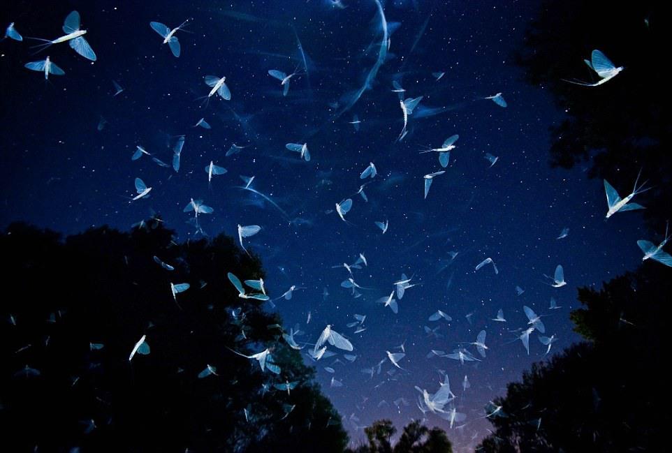 """5 """"Под звёздами"""". Автор - Имре Потио (Венгрия). Поденки, роящиеся на венгерской реке Раба."""
