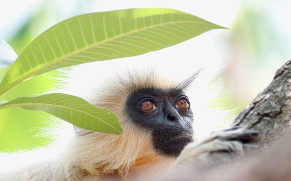 """9 """"Золотые реликвии"""". Автор - Dhyey Shah (Индия). олотые лангуры находятся под угрозой исчезновения. Они живут в лесах Северо-Восточной Индии (Ассам) и Бутана. В дикой природе их насчитывается порядка 2500 особей."""