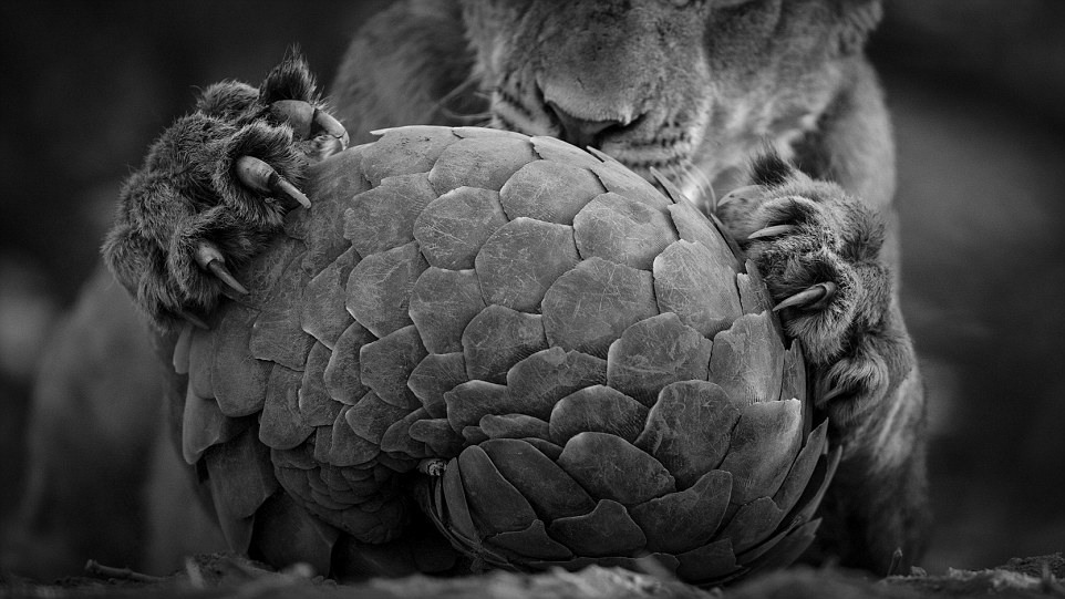 """10 """"Игра с панголином"""". Автор - Ланс ван де Вивер (Новая Зеландия/ЮАР)."""