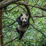 """1 """"Карьерист"""". Автор - Ami Vitale. Китайский центр по разведению больших панд в Волонге."""