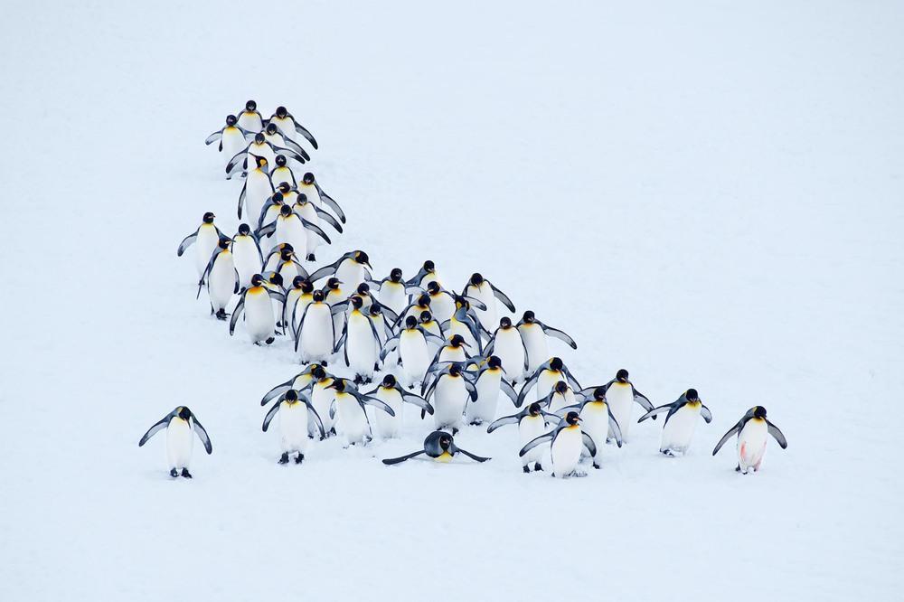 7  Парад пингвинов на острове Южная Джорджия, британской территории в Атлантическом океане к северу от Антарктиды. Автор -  KITTY KONO.