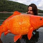 1. Этот 15-килограммовый карп пойман на юге Франции. Источник: aquaria-info.