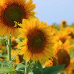 petals of a sun