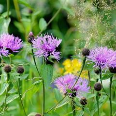 Квіткові Горгани