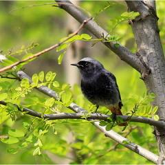 Горихвістка чорна (Phoenicurus ochruros)