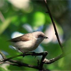Мухоловка сіра (Muscicapa striata)