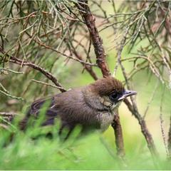 Кропив'янка чорноголова (Sylvia atricapilla)