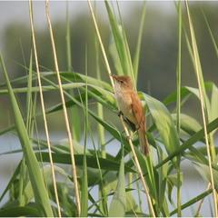 Очеретянка велика (Acrocephalus arundinaceus)