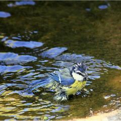 Синиця блакитна (Parus coeruleus)