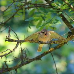 Сорокопуд терновий, сорокопуд-жулан (Lanius collurio)