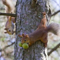Верни орехи!