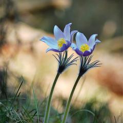 Весна пришла. Сон-трава