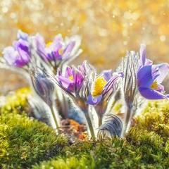В лиловые колокольца звонит волшебная сон-трава