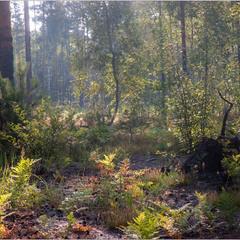 Поліський ранок у грибному лісі.