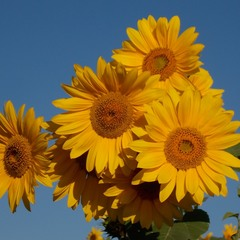 Пишний соняшник, який виріс на городі