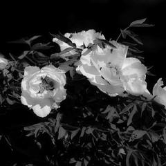 Білі перлини