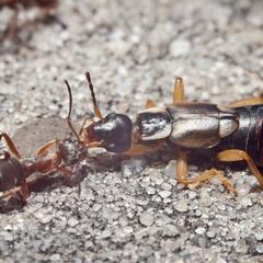 Last Hero Ant