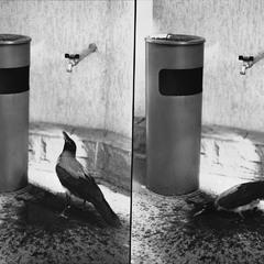 купання чорного ворона