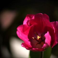 Цветок апреля