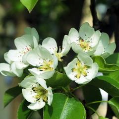 Груши цветут