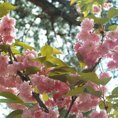 Так цветёт сакура