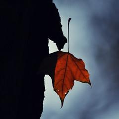 ...словно тростинка на ветру хватается за жизнь последний лист осенний...