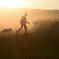 Утренний пастух