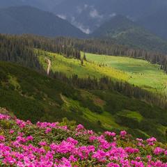 Квіти мармурових Карпат