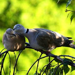 Голуби в любви