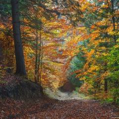 Карпаты. Дземброня. Дорога через осенний лес