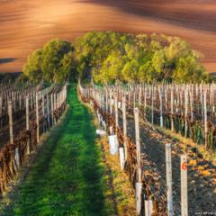 Чехия. Моравские виноградники