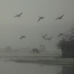 Гуси -Лебеди...