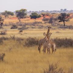 Семья жирафов и орикс