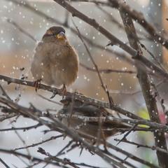 зимняя пташка