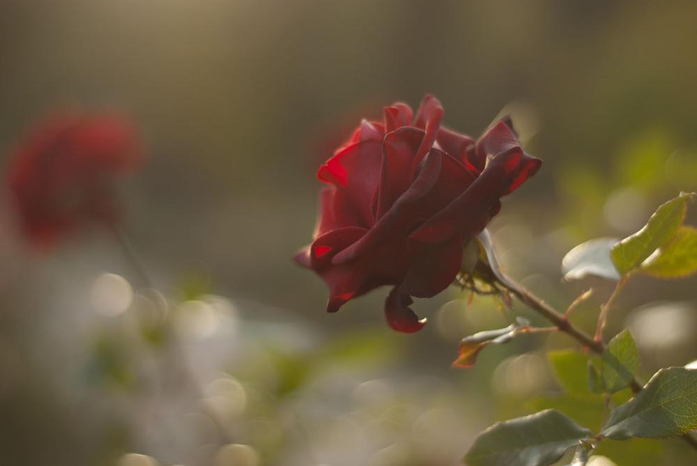 Овцой козой, картинки осенние розы