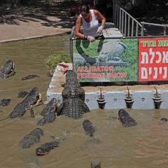 Кормление алигаторов!