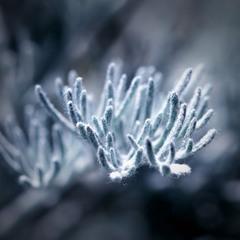 Artemísia absínthium
