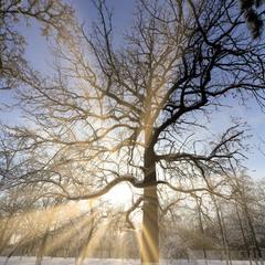 Cтарый дуб